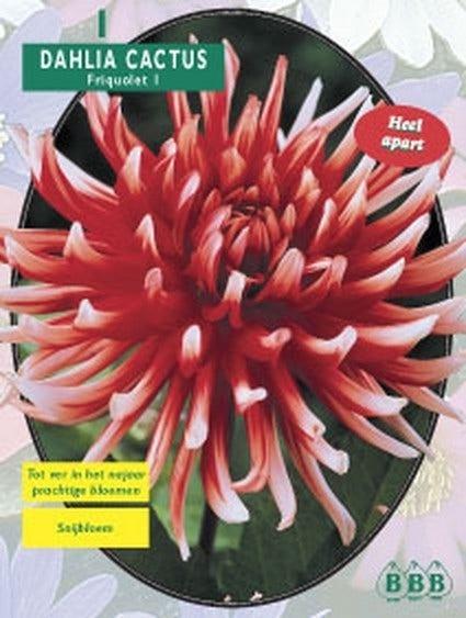 Dahlia (Dahlia cactus Friquolet) - per 1