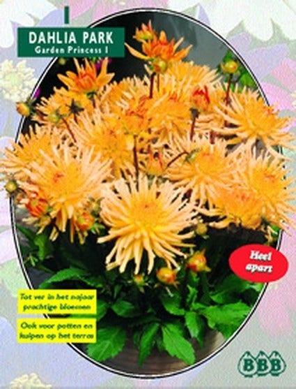Dahlia (Dahlia park garden princess) - per 1. Kleur: oranje