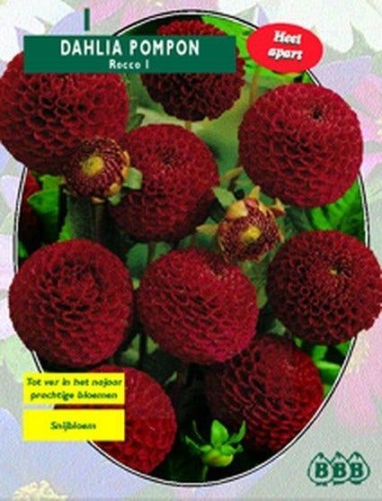 Dahlia (Dahlia Pompon Nescio) - per 1. Kleur: rood