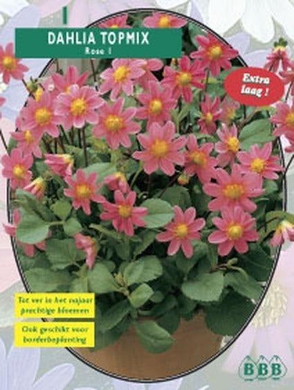 Dahlia (Dahlia topmix Pink) - per 1. Kleur: roze