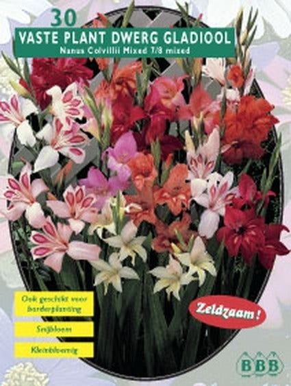 Gladiolen (Gladiolen Winterhard Nanus) - per 30. Kleur: meerkleurig