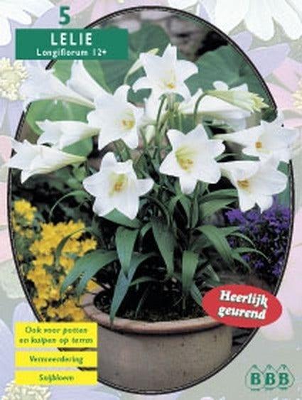 Lelie (Lilium Longliflorum) - per 5. Kleur: wit