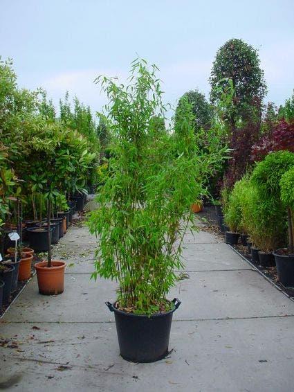 Niet woekerende Bamboe (Fargesia murieliae 'Super Jumbo') - 80/100 cm.