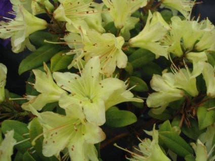 Dwergrhododendron (Rhododendron 'Princess- Anne')-Plant in pot-40/50 cm. Kleur: geel