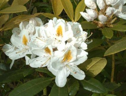 Rhododendron (Rhododendron 'Madame Masson')-Plant in pot-70/80 cm. Kleur: wit