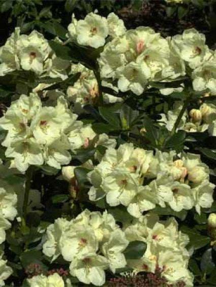 Rhododendron (Rhododendron 'Flava')-Plant in pot-30/40 cm. Kleur: geel