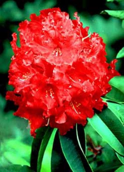 Rhododendron (Rhododendron 'Markeeta's Prize')-Plant in pot-40/50 cm. Kleur: rood