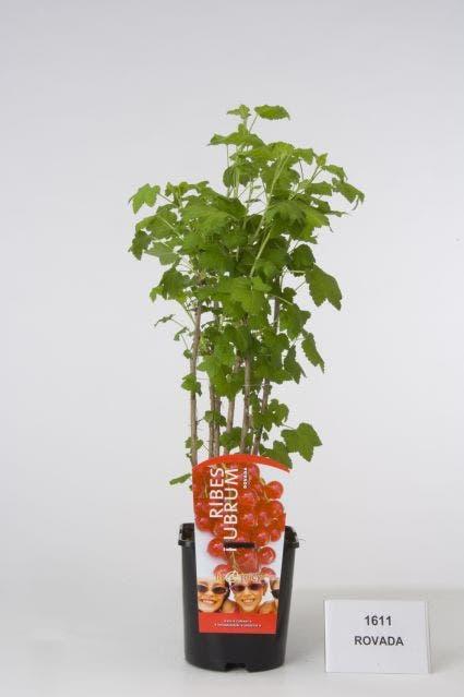 Aalbes (Ribes rubrum 'Rotet') - 40/50 cm.