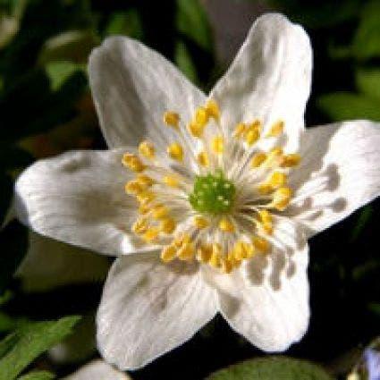 Bosanemoon (Anemone nemorosa). Kleur: wit