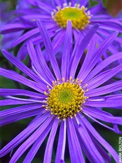 Aster (Aster frikartii 'Monch')-Plant in pot-C2. Kleur: blauw