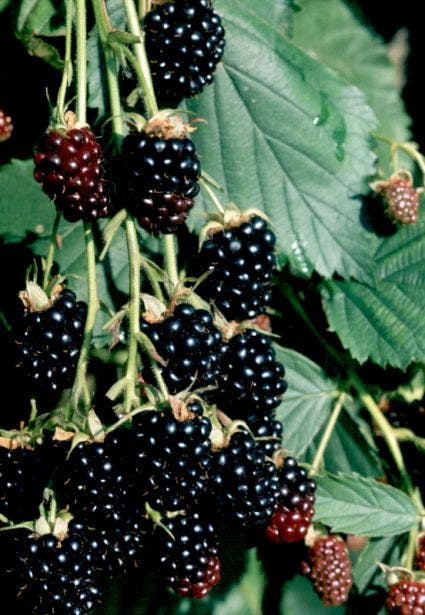 Braam (doornloos) (Rubus fruticosus 'Thornfree')-Plant in pot-80/100 cm