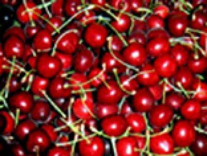 Kersenboom (Prunus avium 'Lapins')-Plant in pot-Struik. Kleur: wit