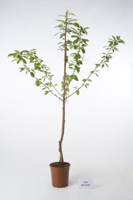 Kersenboom (Prunus avium 'Merchant')-Plant in pot-Struik