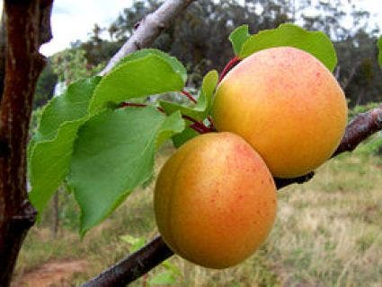 Abrikozenboom (Prunus armeniaca 'Tros Oranje')-Plant in pot-Struik
