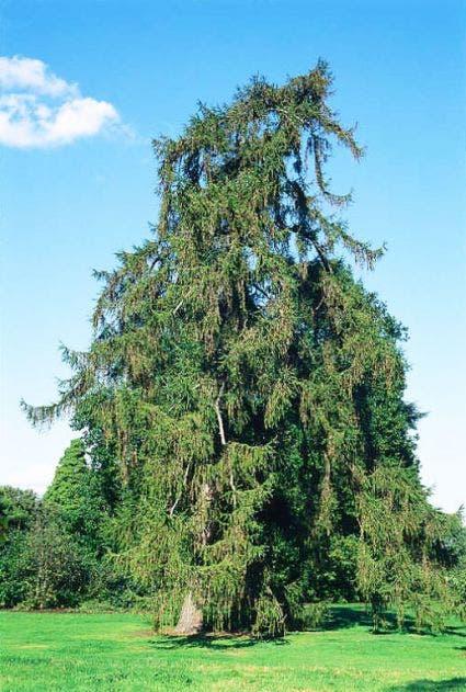 Lariks (Larix decidua)-Plant uit volle grond-8/10 cm