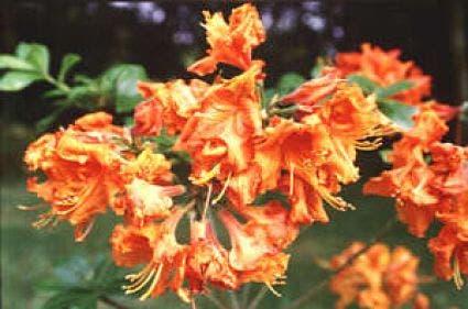 Azalea (Rhododendron 'Mollis' oranje)-Plant uit volle grond-30/40 cm. Kleur: oranje