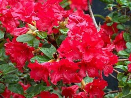 Azalea (Rhododendron 'Mollis' rood)-Plant uit volle grond-30/40 cm. Kleur: rood