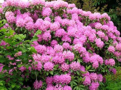 Azalea (Rhododendron 'Mollis' rose)-Plant uit volle grond-30/40 cm. Kleur: roze
