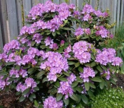 Rhododendron (Rhododendron catawbiense 'Boursault')-Plant in pot-80/100 cm. Kleur: paars