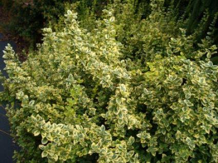Kardinaalsmuts (Euonymus fortunei 'Emerald 'n Gold') - 25/30 cm.