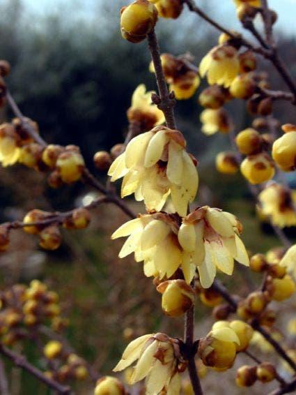 Winterzoet (Chimonanthus praecox)-Plant in pot-200/250 cm