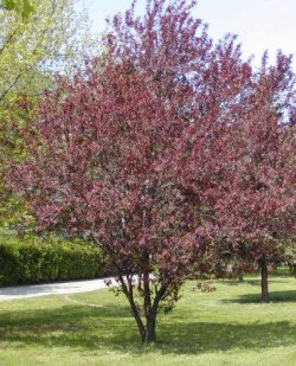 Rode Kerspruim (Prunus cerasifera 'Nigra') - 200/250 cm