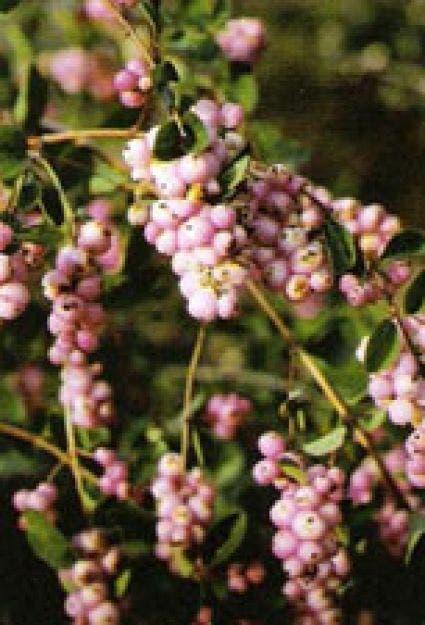 Sneeuwbes (Symphoricarpos doorenbosii 'Magic Berry') - 50/60 cm.