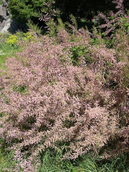 Tamarisk (Tamarix parviflora)-Plant in pot-100/125 cm. Kleur: roze
