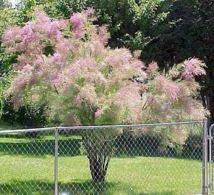 Tamarisk (Tamarix ramosissima)-Plant in pot-175/200 cm. Kleur: roze
