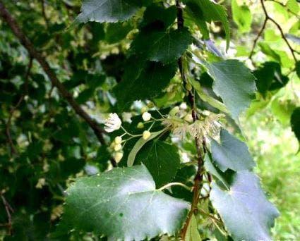 Winterlinde (Tilia cordata)-Plant uit volle grond-100/120cm