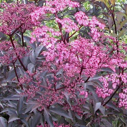 (Sambucus nigra Thundercloud)-Plant in pot-40/50 cm