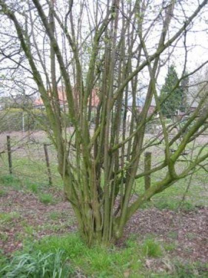 Hazelaar (Corylus avellana)-Plant uit volle grond-125/150 cm