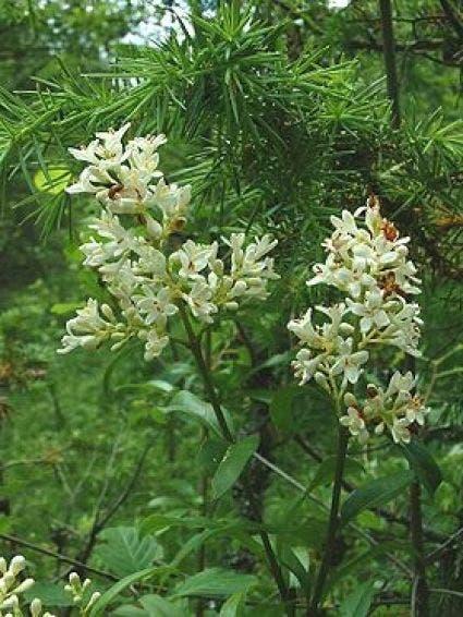 Wilde liguster (Ligustrum vulgare)-Plant uit volle grond-80/120 cm. Kleur: wit
