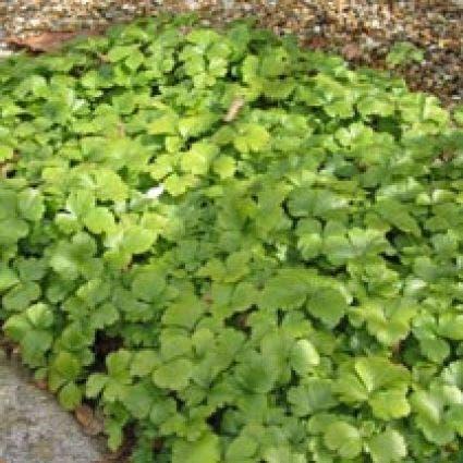 Waldsteinia (Waldsteinia ternata). Kleur: geel