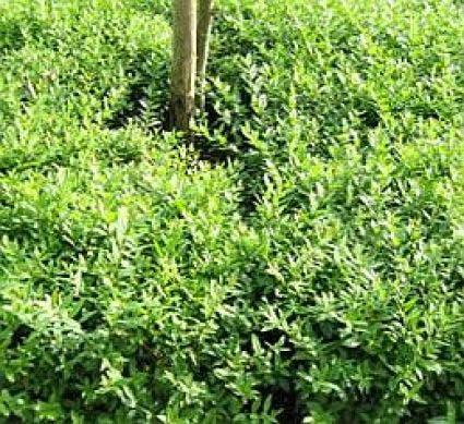 Liguster (Ligustrum vulgare Lodense)-Plant uit volle grond-40/60 cm. Kleur: wit