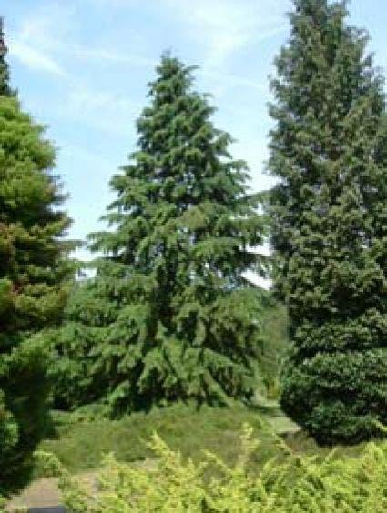 Westelijke hemlockspar (Tsuga heterophylla)-Plant uit volle grond-125/150 cm