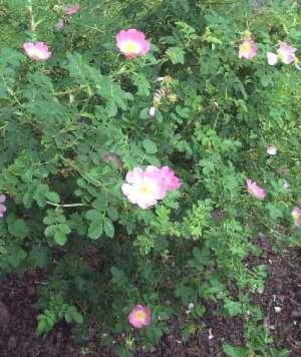 Wilde Roos (Rosa rubiginosa)-Plant in pot-60/100 cm