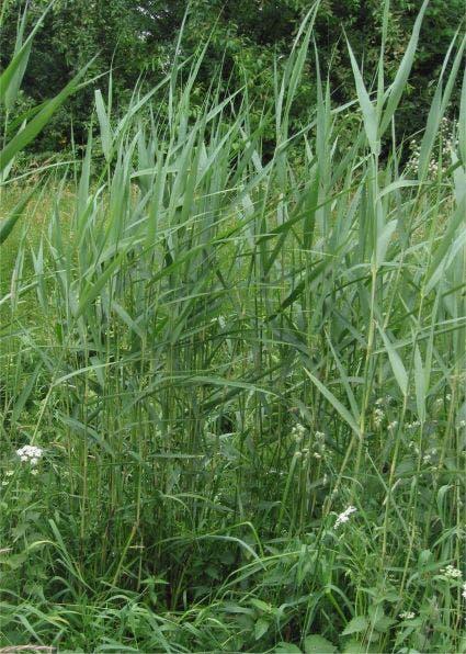 Riet (Phragmites australis)-Plant in pot-C2