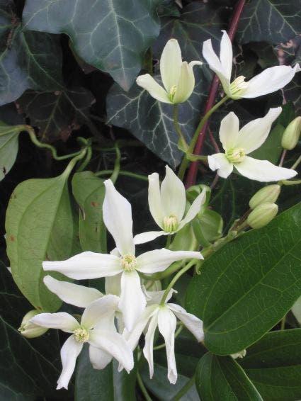 Bosrank, groenblijvend (Clematis armandii) 50/60 cm. Kleur: wit