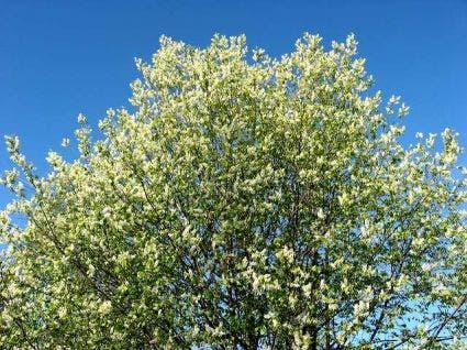 Gewone vogelkers (Prunus padus)-Plant in pot-60/80 cm. Kleur: wit