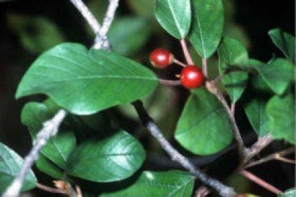 Sporkehout (Frangula alnus)-Plant uit volle grond-100/125 cm