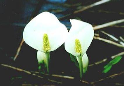 Witte moerasaronskelk (Lysichiton camtschatcense)-Plant in pot-18 cm mand. Kleur: wit