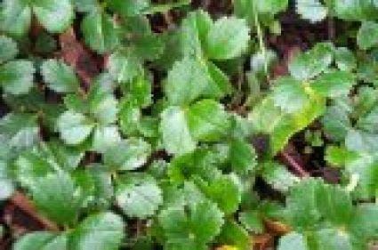 Aardbei (Fragaria chiloense 'Chaval'). Kleur: rood