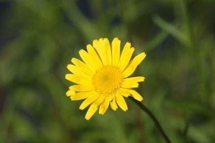 Koeienoog (Buphthalmum salicifolium). Kleur: geel