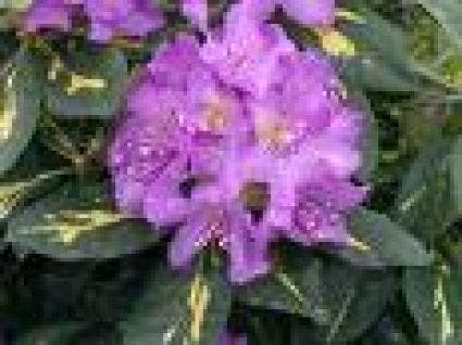 Rhododendron (Rhododendron 'Goldflimmer')-Plant in pot-60/80 cm. Kleur: paars