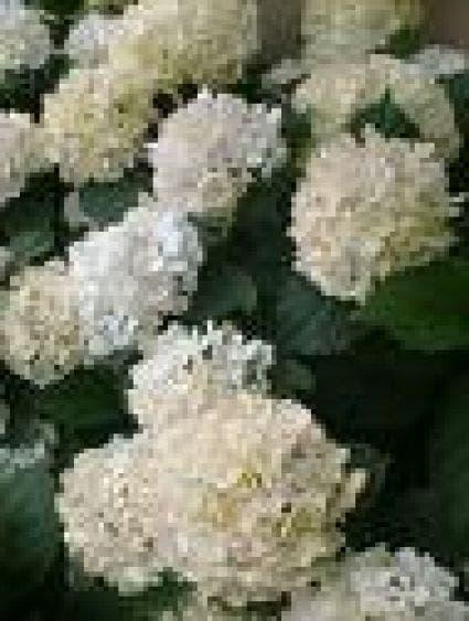 Hortensia (Hydrangea macrophylla 'Souer Therese') - 25/30 cm. Kleur: wit