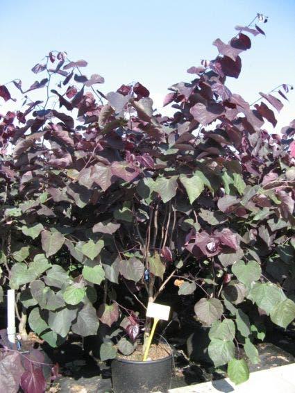 Judasboom als struik (Cercis canadensis 'Forest Pansy')-Plant in pot-150/175 cm. Kleur: roze