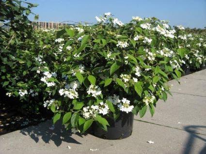 Sneeuwbal (Viburnum plicatum 'Summer Snowflake')-Plant in pot-35/40 cm. Kleur: wit