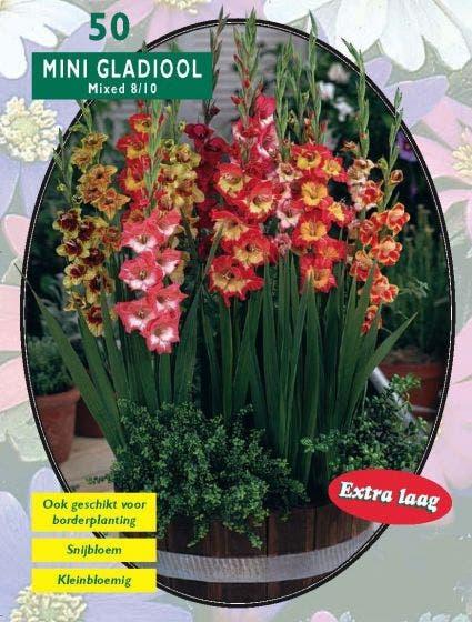 Gladiolen (Gladiolen, Miniatuur gemengd) - per 50. Kleur: meerkleurig