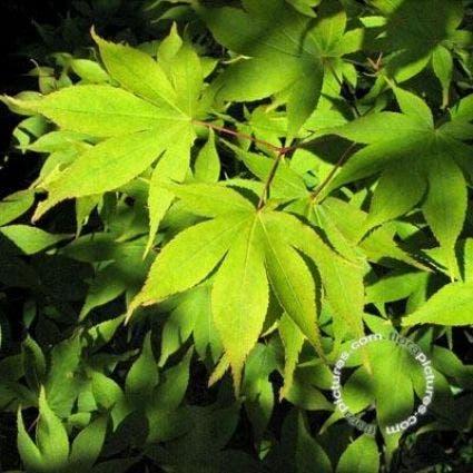 Japanse esdoorn (Acer palmatum 'Osakazuki') - 150/175 cm